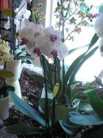 122-Orchidee