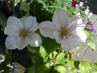 06-Clematis weiss